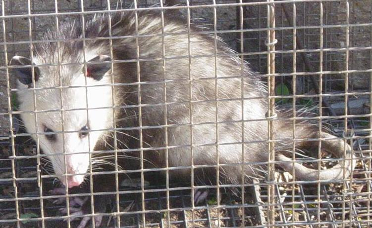 Possum caught in Cage by wall