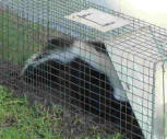 Skunk Caught in Cage by house crawl opening